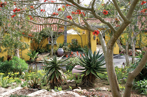 To go with the garden, Patrick painted his house warm yellow. In the foreground, a coral tree's blooms repeat the orange of aloe flowers