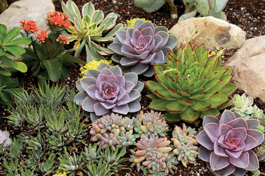 Echeverias and haworthias enhance a jewel-box garden.