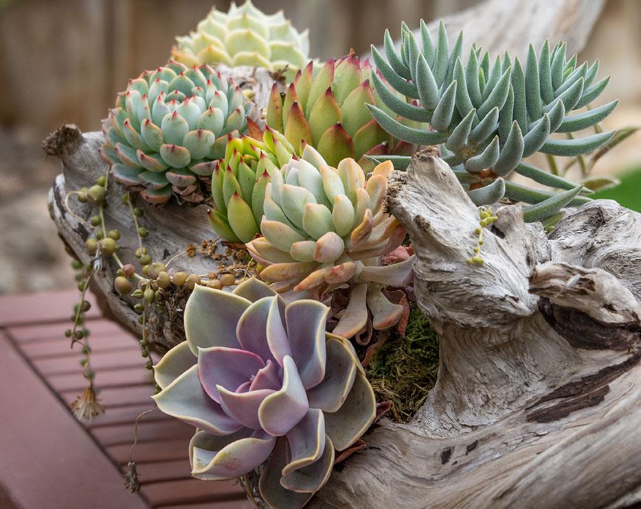 creative succulent design driftwood
