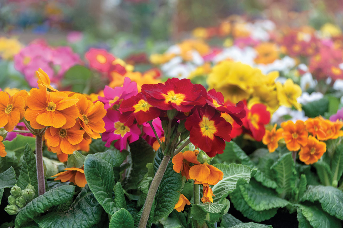 november garden guide san diego pansies color