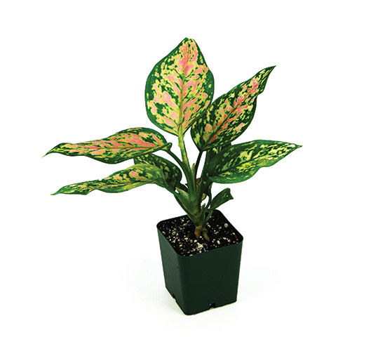 garden gift guide aglaonema wishes low light plant indoor houseplant kevin espiritu