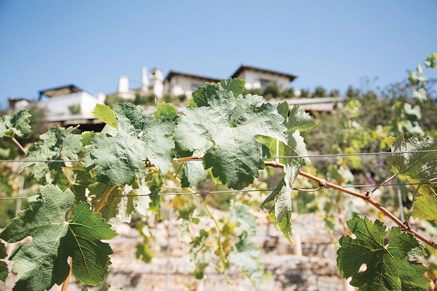 Italian home design vineyard syrah grapes