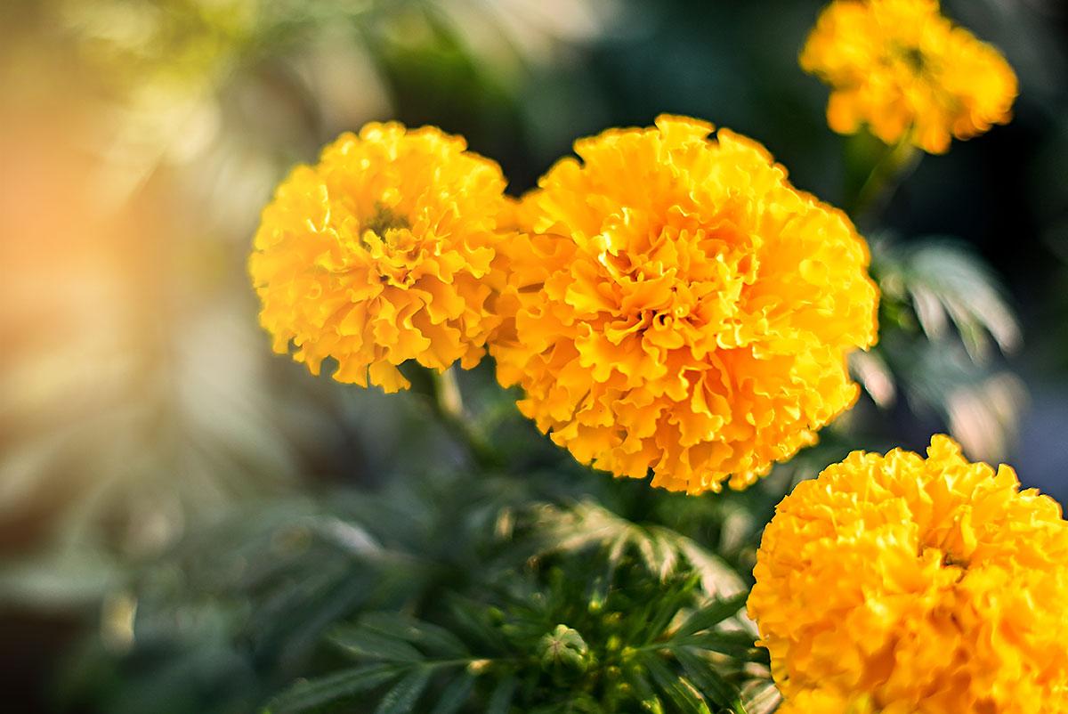 march garden calendar when to plant marigolds