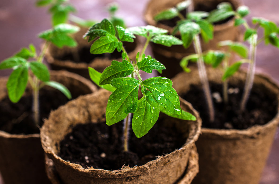 march garden tomato seedlings young tomatoes
