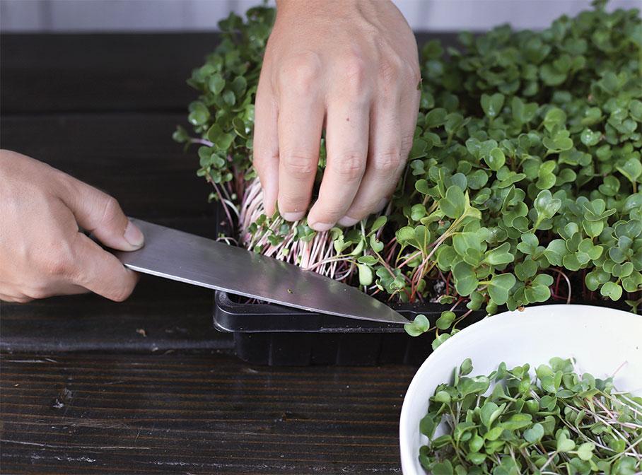 microgreens harvest harvesting greens DIY epic gardening