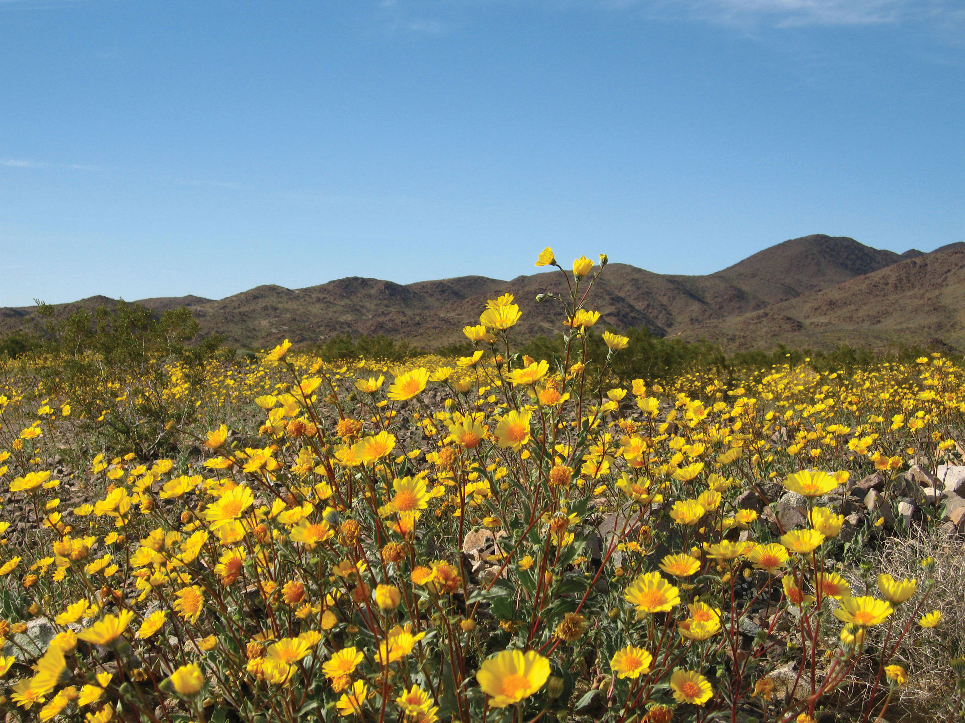 florencia gomez gerbi joshua tree national park hairy desert sunflower