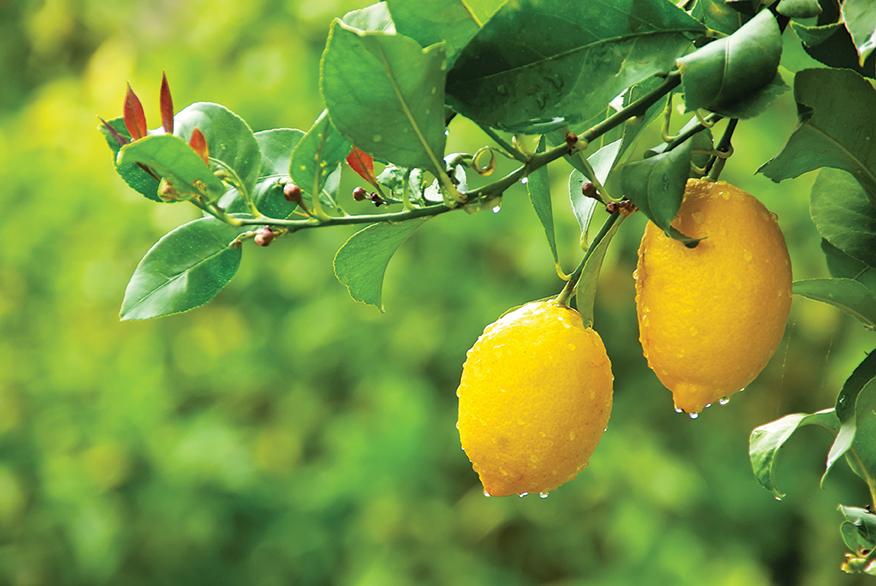 irrigate fruit trees
