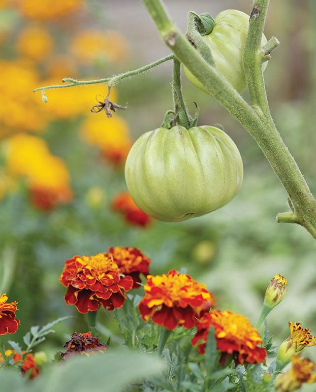 tomato plant and marigold summer gardening