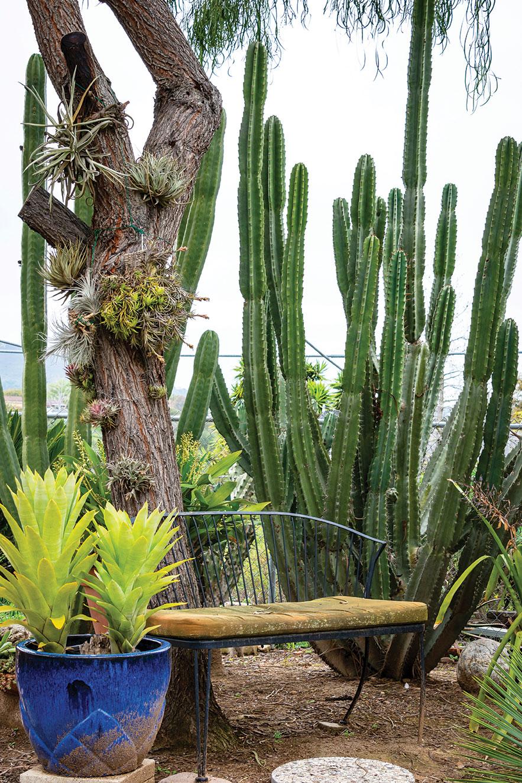 air plants outdoors outside cactus cereus cacti