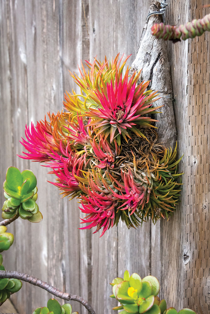 air plants outdoors hanging succulent on a fence bright pink tillandsia