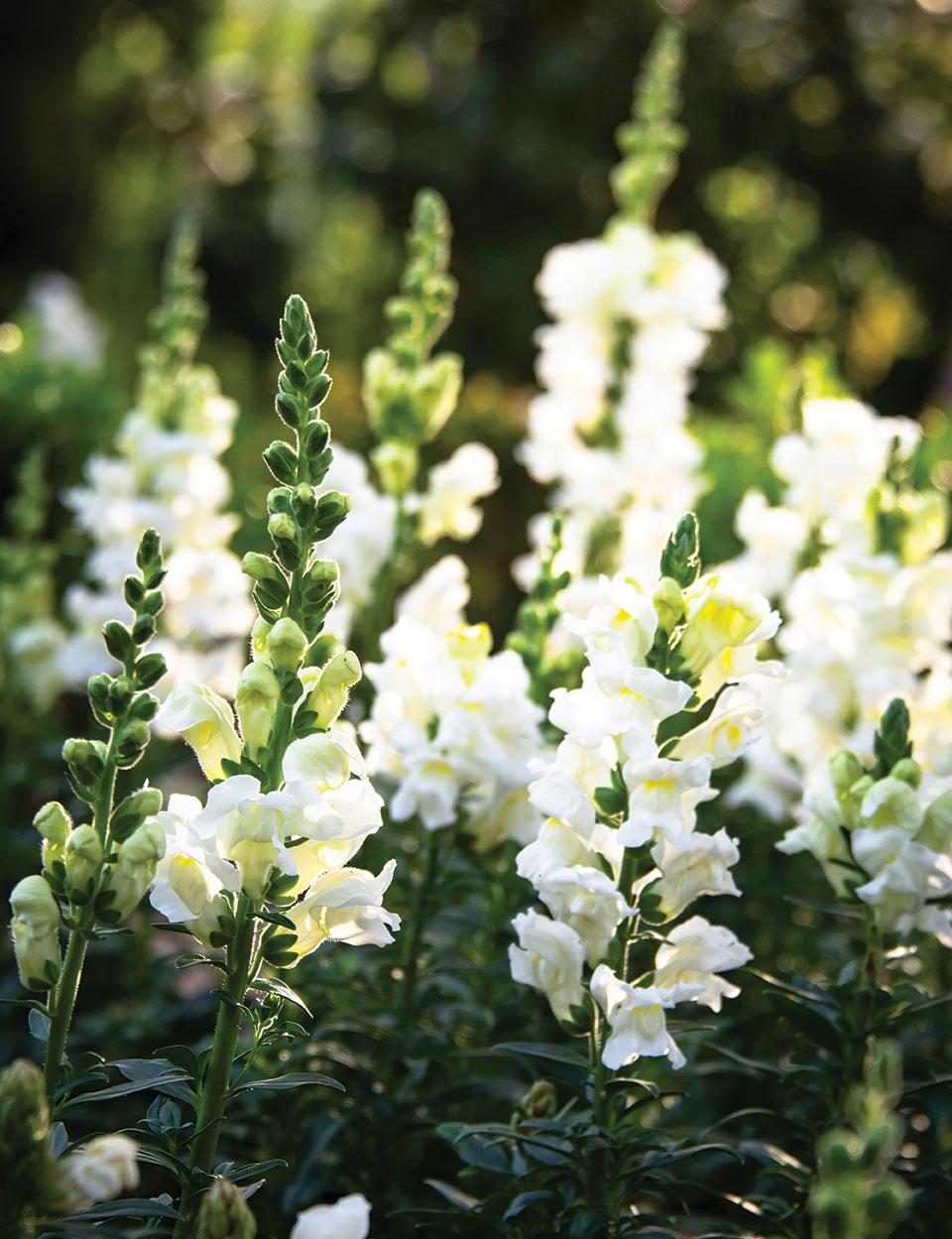 san diego formal garden snapdragons white flowers