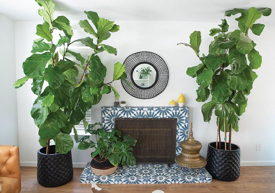 houseplants fiddle leaf fiddleleaf