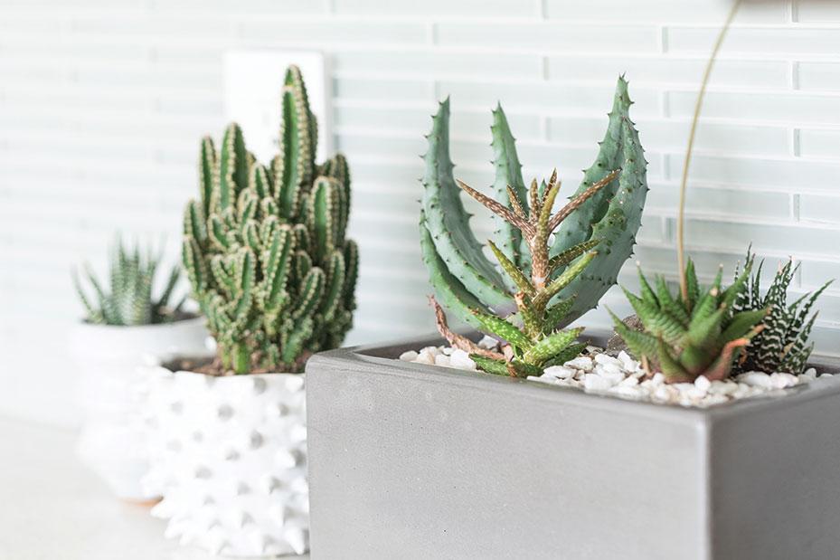 succulents cacti pots