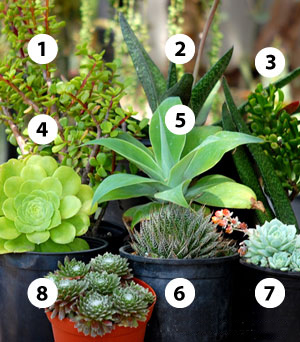 Succulents In Shady Places San Diego Home Garden Lifestyles